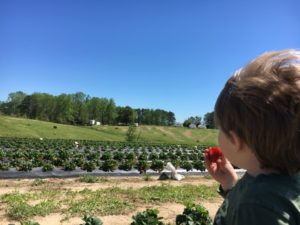 Strawberry Picking for the Win - Colin enjoying scenery and berries