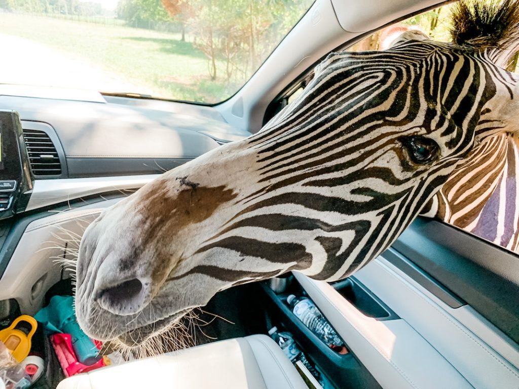 A day trip to the Alabama Safari Park - feeding zebras!